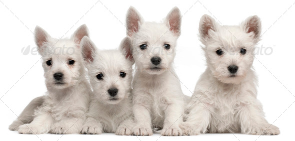 Four West Highland Terrier puppies, 7 weeks old, in front of white background - Stock Photo - Images