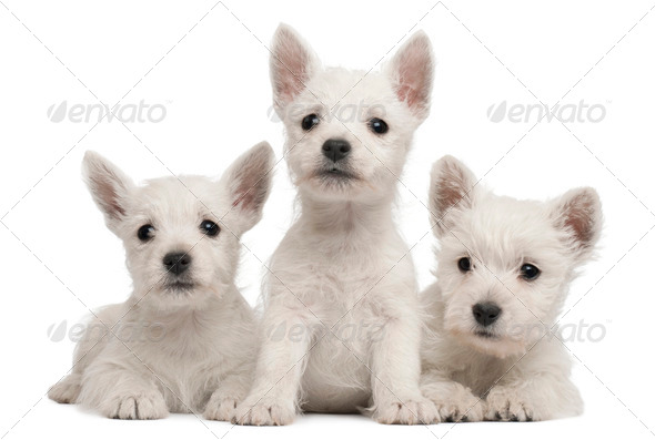 Three West Highland Terrier puppies, 7 weeks old, in front of white background - Stock Photo - Images