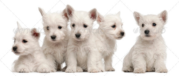 Five West Highland Terrier puppies, 7 weeks old, in front of white background - Stock Photo - Images