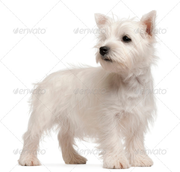 West Highland Terrier puppy, 4 months old, in front of white background - Stock Photo - Images