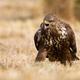 Fierce common buzzard screeching on meadow in autumn - PhotoDune Item for Sale