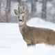 Roe deer buck walking in deep snow in wintertime nature - PhotoDune Item for Sale
