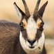 Tatra chamois looking to the camera in autumn in detail - PhotoDune Item for Sale