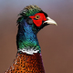Common pheasant cock in detail looking in sunny nature - PhotoDune Item for Sale