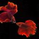 Orange Betta Siamese Fighting Fish - PhotoDune Item for Sale