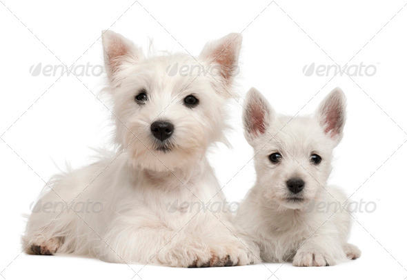 Two West Highland Terrier puppies, 4 months old and 7 weeks old, in front of white background - Stock Photo - Images