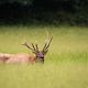 Bull Elk in High Grass - PhotoDune Item for Sale