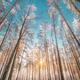 Sunset Sunrise Sun Sunshine In Sunny Winter Snowy Coniferous Forest. Sunlight Through Woods In - PhotoDune Item for Sale