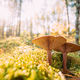 Paxillus Involutus In Autumn Forest In Belarus. Brown Roll-rim, Common Roll-rim, Or Poison Pax, Is A - PhotoDune Item for Sale