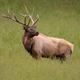 Bull Elk Looking at a Rival - PhotoDune Item for Sale