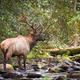 Bull Elk - PhotoDune Item for Sale