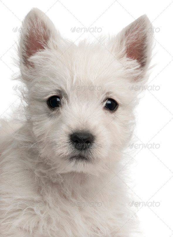Close-up of West Highland Terrier puppy, 7 weeks old, in front of white background - Stock Photo - Images