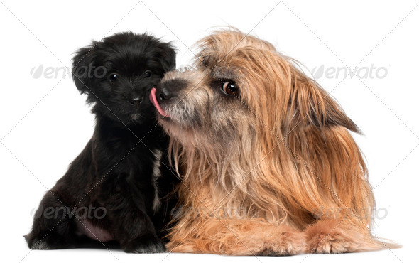 Pyrenean Shepherd and puppy licking, 3 years old and 6 weeks old, in front of white background - Stock Photo - Images