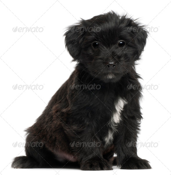 Pyrenean Shepherd puppy, 6 weeks old, in front of white background - Stock Photo - Images