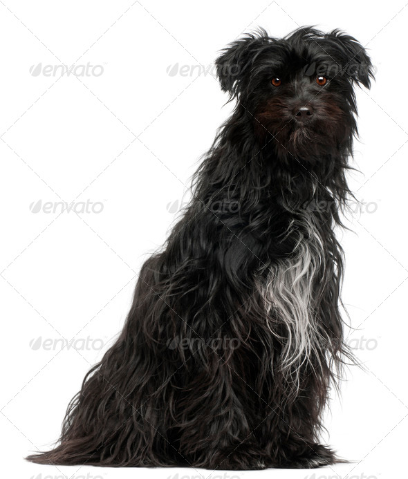 Pyrenean Shepherd, 15 months old, in front of white background - Stock Photo - Images