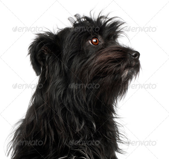 Close-up of Pyrenean Shepherd, 15 months old, in front of white background - Stock Photo - Images