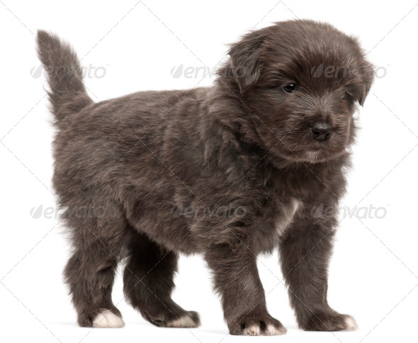 Pyrenean Shepherd puppy, 4 weeks old, in front of white background - Stock Photo - Images