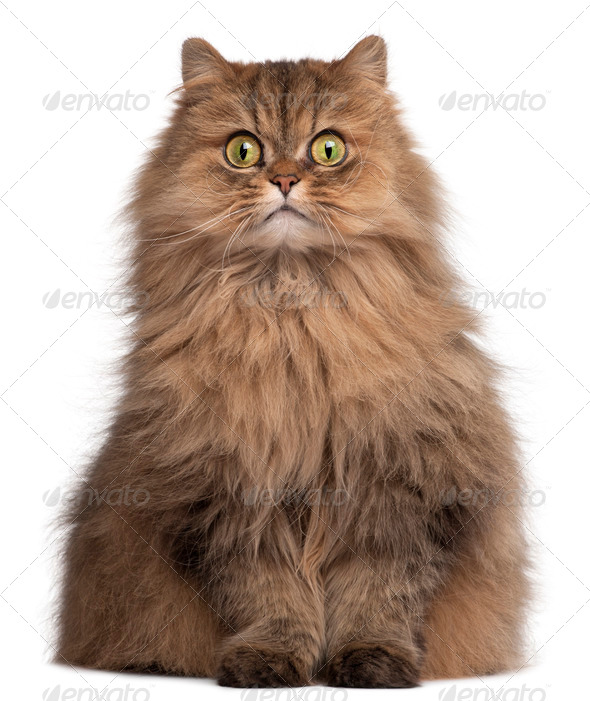 Persian cat, 6 years old, in front of white background - Stock Photo - Images