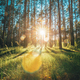 Beautiful Sunset Sunrise Sun Sunshine In Sunny Summer Coniferous Forest. Sunlight Sunbeams Through - PhotoDune Item for Sale