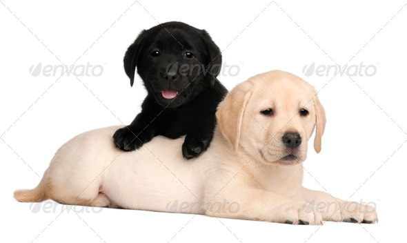 Two Labrador puppies, 7 weeks old, in front of white background - Stock Photo - Images