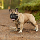French bulldog outdoors - PhotoDune Item for Sale