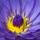 Blue Waterlily Flower - PhotoDune Item for Sale