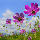 Pink Cosmos Flowers with Sky Background - PhotoDune Item for Sale