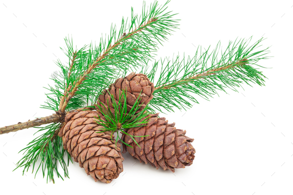 Cedar cones with branch on white - Stock Photo - Images