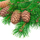 Cedar cones with branch on white - PhotoDune Item for Sale