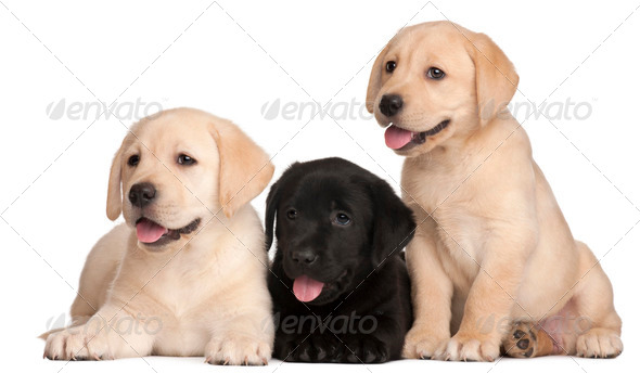Three Labrador puppies, 7 weeks old, in front of white background - Stock Photo - Images
