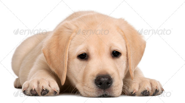 Labrador puppy, 7 weeks old, in front of white background - Stock Photo - Images