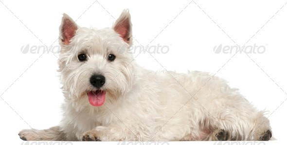 West Highland White Terrier, 10 months old, lying in front of white background - Stock Photo - Images