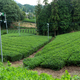 Tea field - PhotoDune Item for Sale