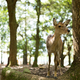 Wild deer in Nara Park - PhotoDune Item for Sale
