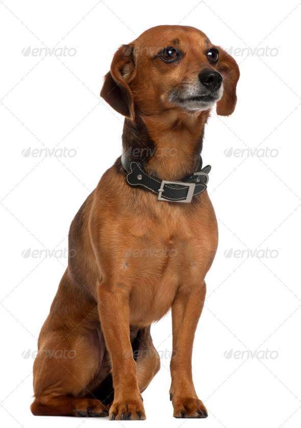 Mixed-breed dog sitting in front of white background - Stock Photo - Images