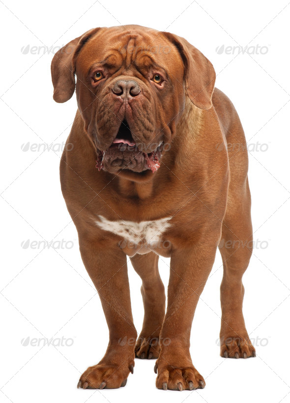 Dogue de Bordeaux, 20 months old, standing in front of white background - Stock Photo - Images