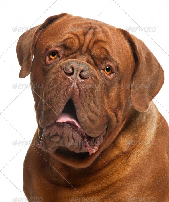 Close-up of Dogue de Bordeaux, 20 months old, in front of white background - Stock Photo - Images
