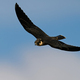 Eurasian hobby (Falco subbuteo) - PhotoDune Item for Sale