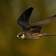 Eurasian hobby (Falco subbuteo) - PhotoDune Item for Sale
