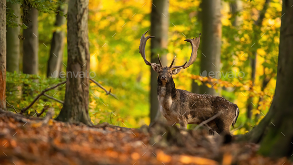 Majestic fallow deer stag standing in forest in autumn - Stock Photo - Images