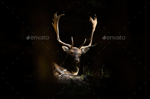 Fallow deer stag lying in forest illuminated by the sunlight - Stock Photo - Images