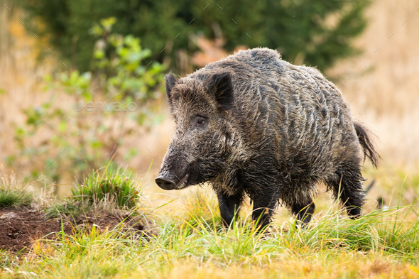 Wild boar standing on meadow in autumn nature - Stock Photo - Images