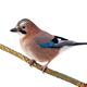 Eurasian jay sitting on branch isolated on white background - PhotoDune Item for Sale