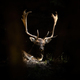 Fallow deer stag lying in forest illuminated by the sunlight - PhotoDune Item for Sale
