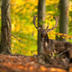 Majestic fallow deer stag standing in forest in autumn - PhotoDune Item for Sale