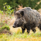 Wild boar standing on meadow in autumn nature - PhotoDune Item for Sale