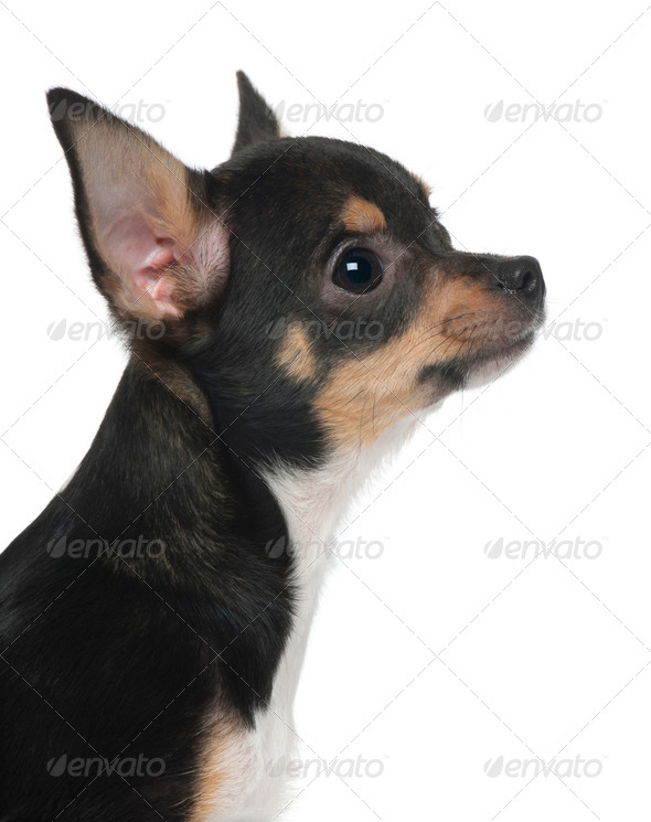 Close-up of Chihuahua puppy, 5 months old, in front of white background - Stock Photo - Images