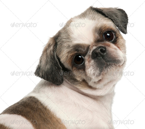 Close-up of Shih Tzu, 8 years old, in front of white background - Stock Photo - Images