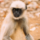 Goa, India. Gray Langur Monkey Sitting On Forest Ground - PhotoDune Item for Sale