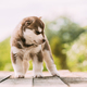 Four-week-old Husky Puppy Of White-brown Color Standing On Wooden Ground With Closed Eyes - PhotoDune Item for Sale